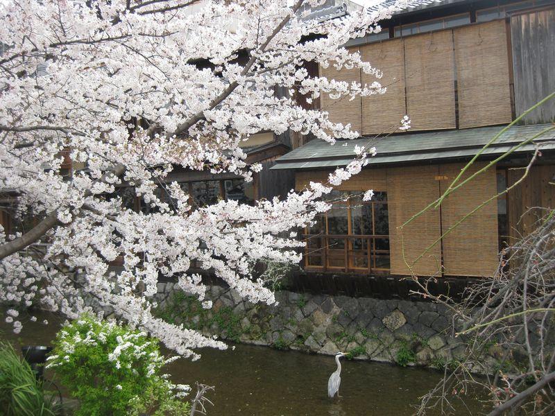 白川鷺と桜
