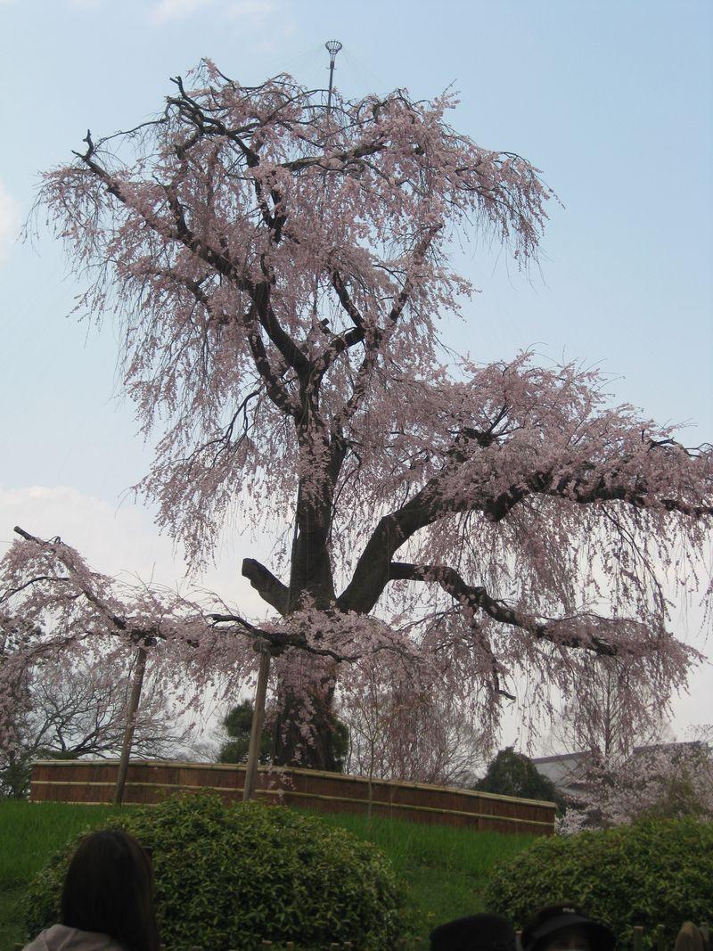 円山しだれ桜